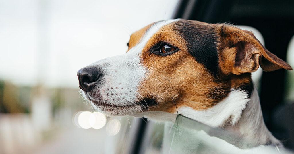 Transporte de animais dentro do veículo: conheça as regras para essa convivência